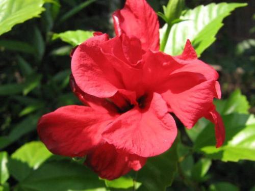Hibiscus Rosa Sinensis alias Bunga Sepatu di Halaman Rumah Ibu