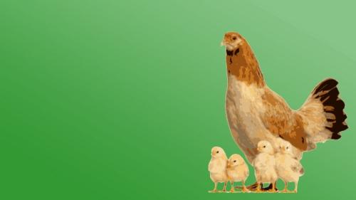 ayam n anak