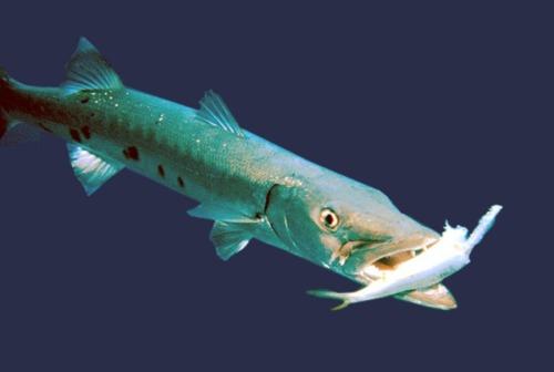 ikan besar ikan kcil2