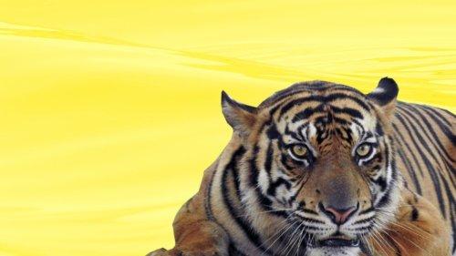 akuisisi harimau