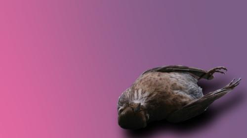 burung mati
